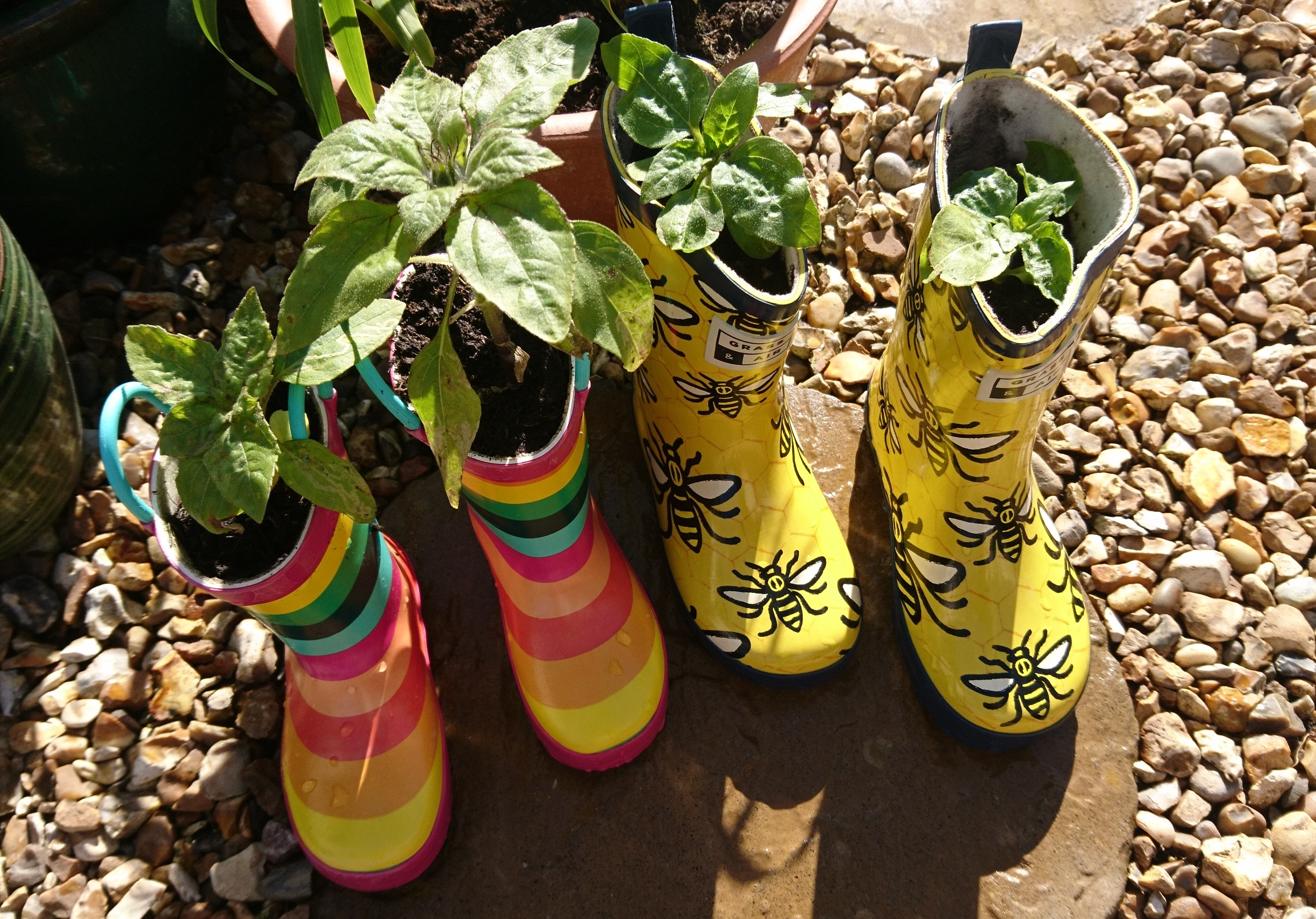 Sunflowers growing in wellington boots.