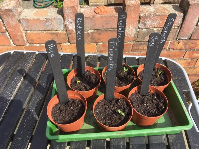 Sunflowers growing at Westminster Primary school in Ellesmere Port.